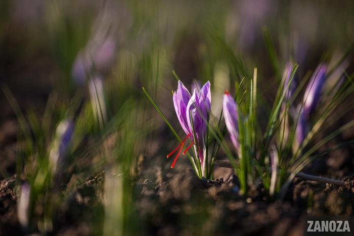 В Запорожской области выращивают нетипичное для Украины растение (ФОТО)
