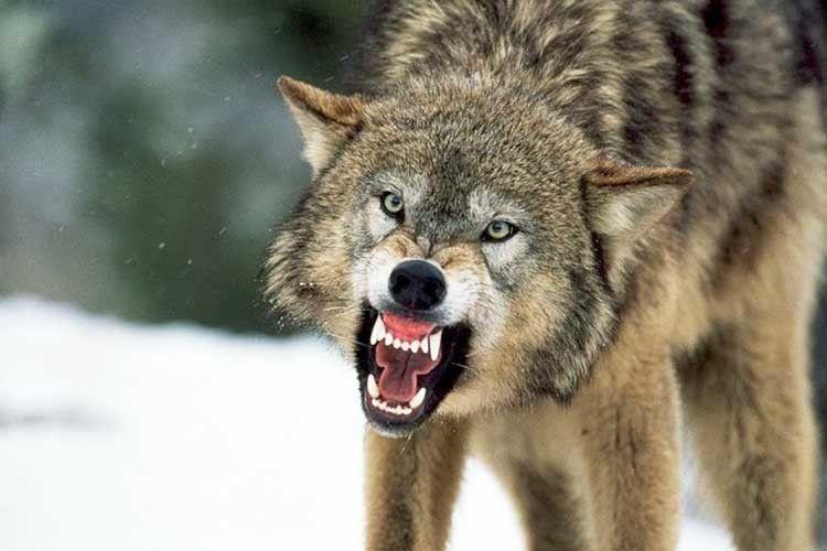 У Запорізькій області вовк накинувся на людей: постраждали троє