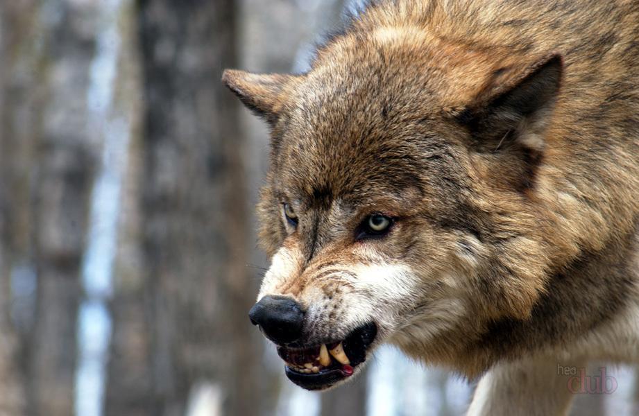 Нападение волка на людей в Запорожской области: стали известны результаты экспертизы