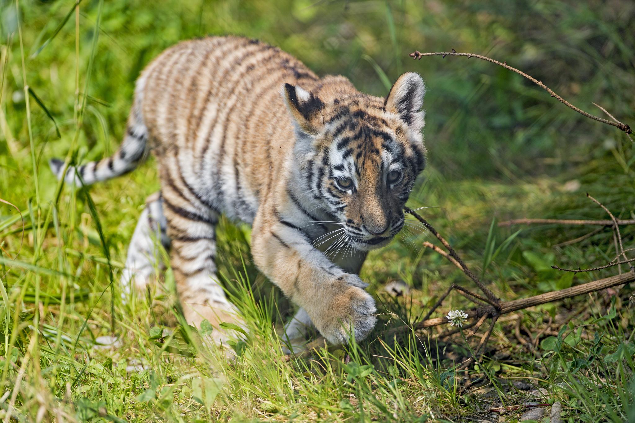 В зоопарке Запорожской области показали подросшего пятимесячного тигрёнка, выкормленного собакой (Видео)