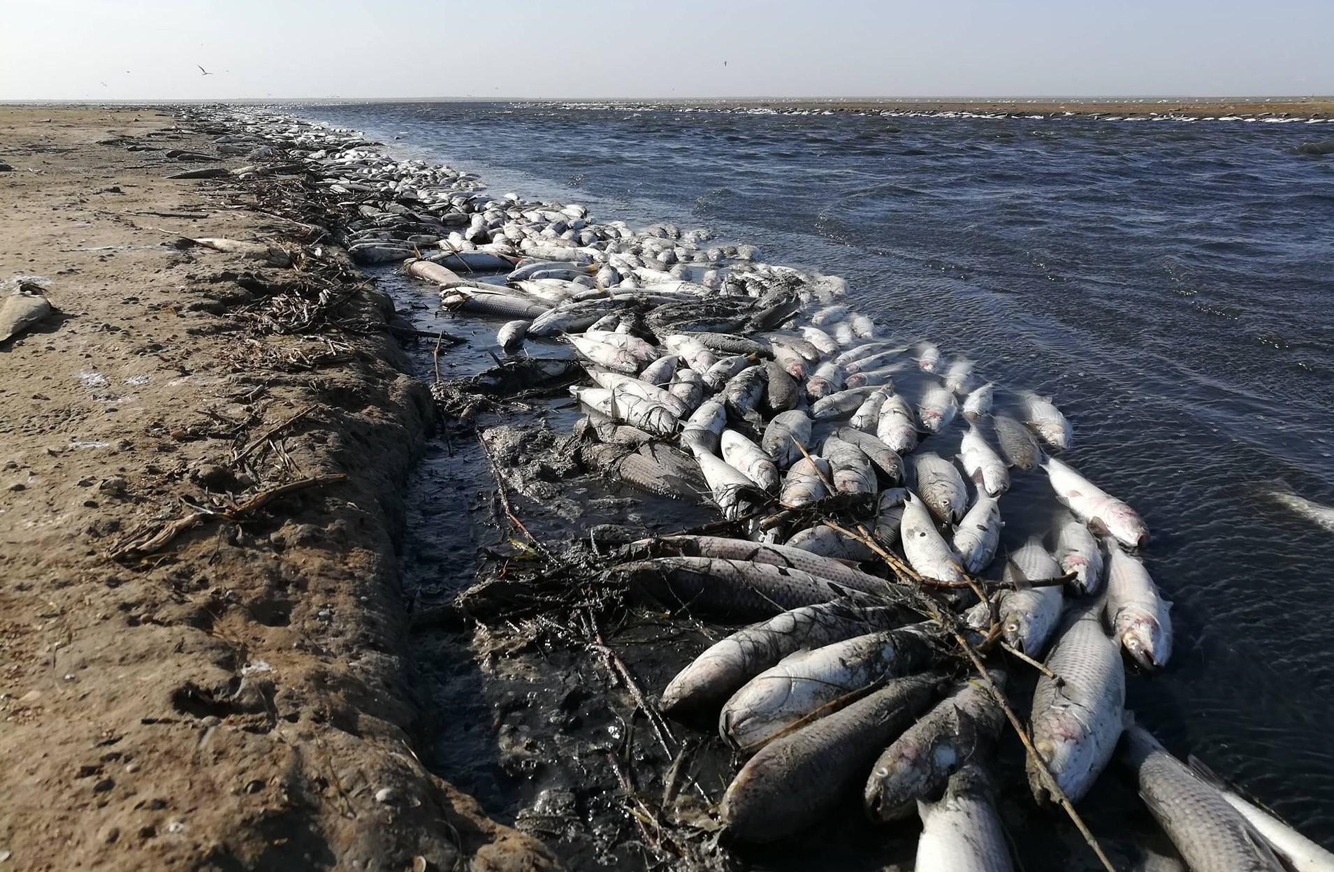 Гибель пеленгаса — «стихийное природное явление» ?