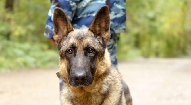 Шведская армия купила 59 собак за миллион евро