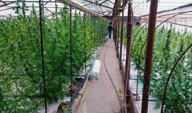 Житель Лисичанска вырастил «оранжерею» из конопли на 15 млн гривен