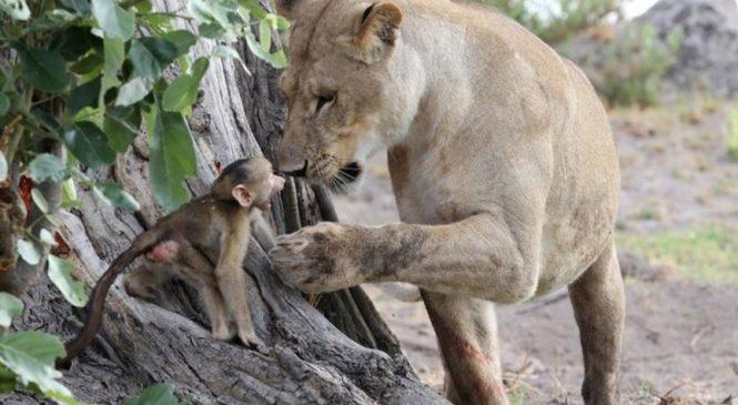 «Книга Джунглей»: львица спасла детеныша обезьяны