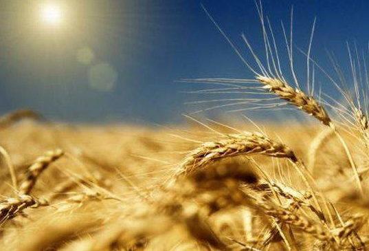 Украинское зерно будут поставлять в ЕС без пошлин