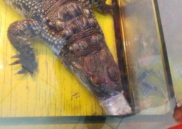 Крокодил, замотанный скотчем, и избитые обезьяны — в российский Псков приехал зоопарк