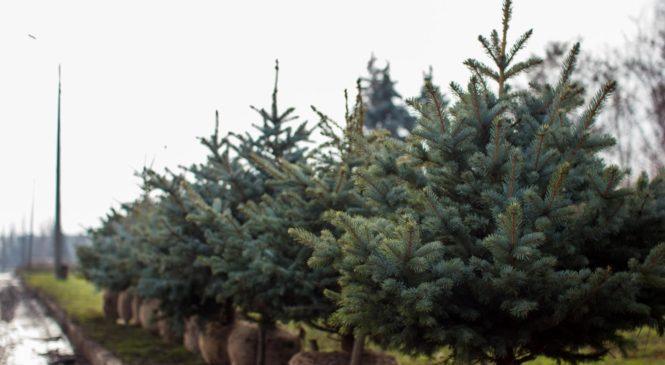 В Запорожье продают елки с землей, которые после Нового года можно будет посадить