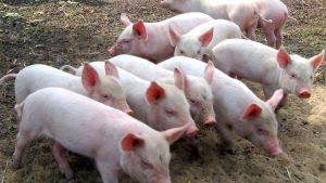 В Запорожье в воинской части вспышка африканской чумы свиней