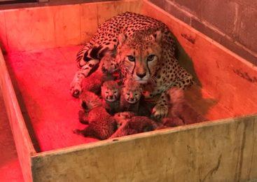 В США самка гепарда родила рекордное количество детенышей. ФОТО