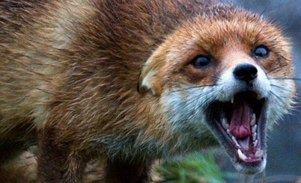 По запорожской области разгуливает бешеная лисица