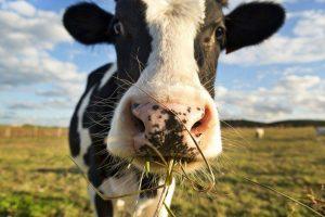 Билл Гейтс пожертвовал 40 миллионов долларов на создание идеальной коровы