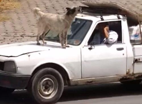 Собака запрыгнув на машину начала «петь»,- ВИДЕО