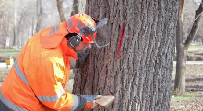 В Дубовой роще спилят 855 деревьев
