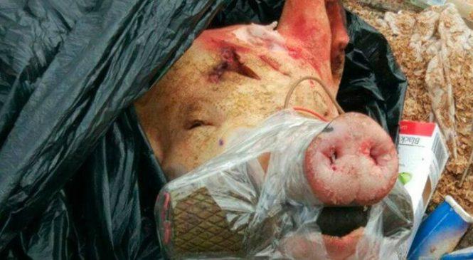 В Запорожье патрульным полицейским пришлось охранять свиную голову
