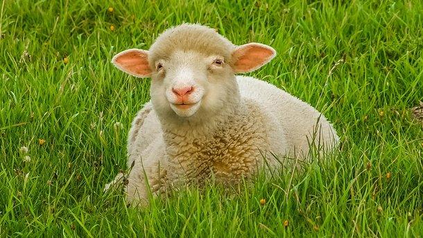 Овцы — наркоманы устроили погром в селе