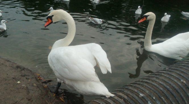 В пруды Дубовой рощи выпустили лебедей