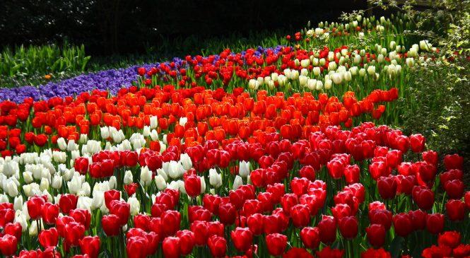 Запорожцев скоро порадуют несколько десятков тысяч весенних цветов