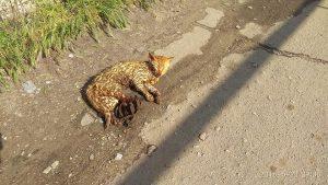 В Запорожской области кот угодил в капкан: животное тяжело ранено и нуждается в помощи (Фото)