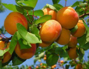 Урожай фруктовых деревьев в Запорожье под угрозой (Фото)