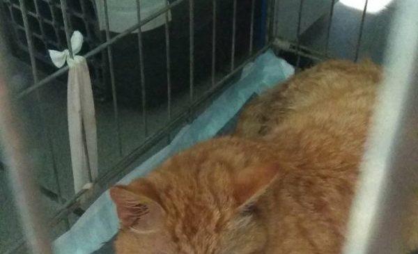 Из-за начавшейся гангрены, коту, который попал в капкан в Запорожской области, ампутировали лапу (Фото)