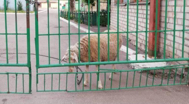 В Запорожье к забору возле больницы привязали овцу