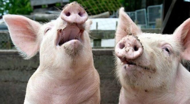 Официально: африканская чума свиней коснулась Запорожскую область