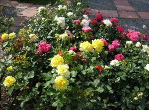 В Запорожье влюбленная пара оборвала клумбу с розами (фото)