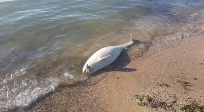 В Запорожской области на пляж выбросило мертвого азовского дельфина (ВИДЕО)