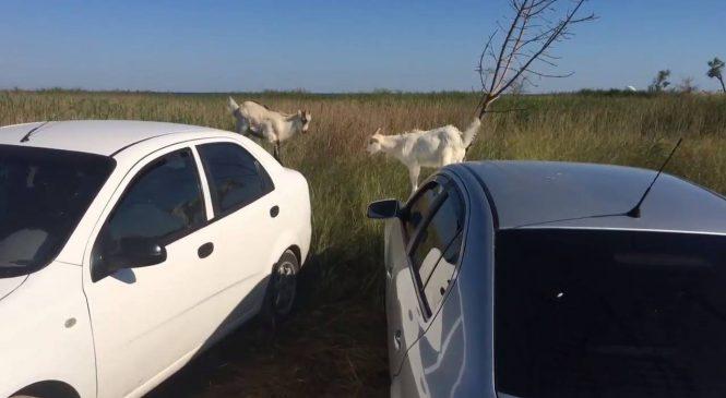 Курьез: на запорожском курорте по иномаркам прыгали…козлята (Видео)