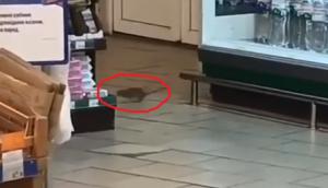 В одном из супермаркетов Запорожья водятся крысы (Видео)