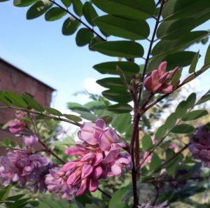 Фотофакт: августовская жара жителям Запорожской области снова подарила цветение дерева