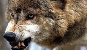 В Запорожской области волки нападают на домашний скот: от диких животных пострадало уже четыре хозяйства