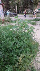 В центре Запорожья растет конопля (Фото)