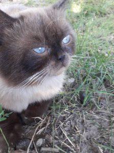 В Запорожье разыскивают хозяев потерявшегося сиамского кота (Фото)