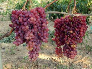 Фотофакт: житель Запорожья вырастил 3х-килограммовую гроздь сладких ягод