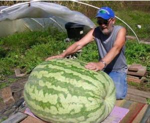Фотофакт: в соседней от Запорожья области вырастили самый большой в мире арбуз