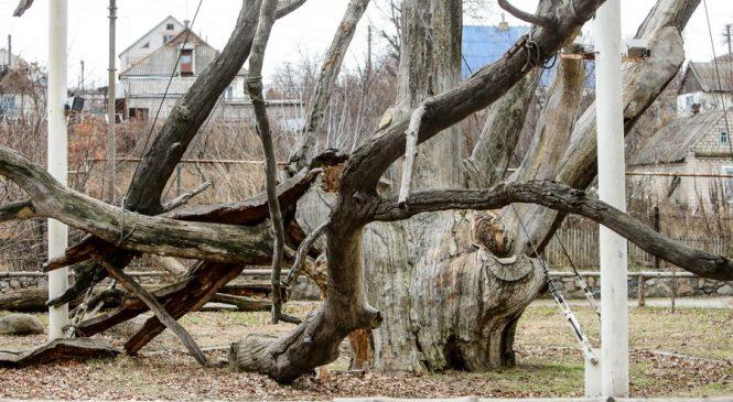 Запорожский 700-летний дуб пойдет на дрова, — депутат