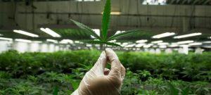 В двух районах Запорожской области СБУ «накрыла» бизнес по выращиванию элитных наркотиков