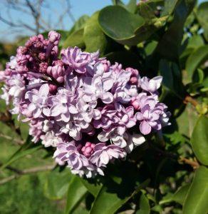 «А сирень цветет и пахнет»: в Запорожской области расцвел ароматный куст (Фото)