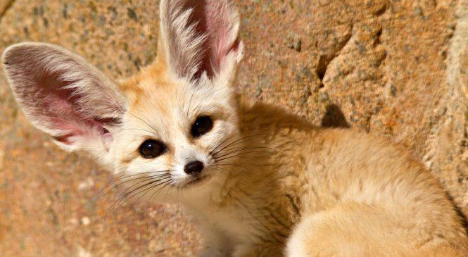 В сети появились кадры забавной миниатюрной лисицы в зоопарке Запорожской области (Видео)