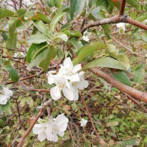 Фотофакт: в Запорожье цветет яблоня