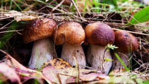 «В Запорожской области не растут грибы, пригодные в пищу», — Госпотребслужба