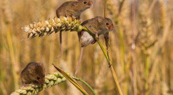 Поля и огороды в Запорожской области атаковали мыши