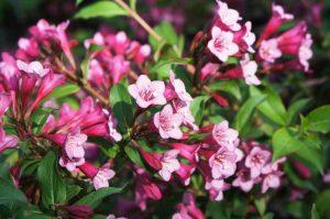 Фотофакт: в Запорожье посреди осени цветут весенние цветы и каштаны
