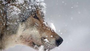 Нападение волка на жителей Запорожской области: животное не было бешеным (Видео)