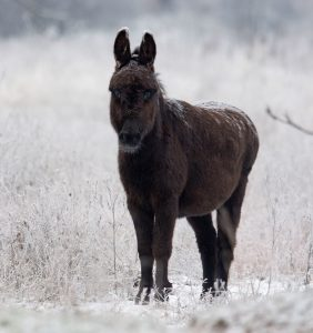 Житель Запорожья запечатлел на зимней Хортице лошадей и ослика (Фото)