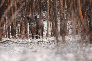 В объектив запорожского фотографа снова попали дикие кабаны (Фото)