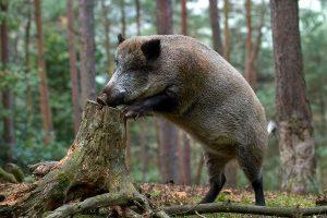В Запорожской области путешественник встретил стада диких кабанов (видео)