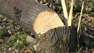 В Запорожье вырубят около ста деревьев