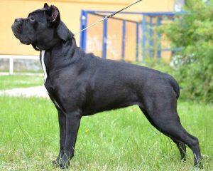 В Запорожье пропала собака редкой породы: хозяева просят за вознаграждение помочь с поисками (Фото) ОБНОВЛЕНО